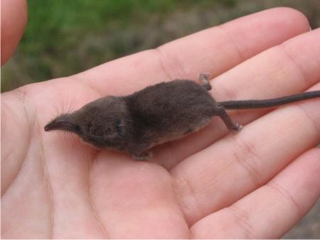 Ciekawostki najmniejsze ssaki wiata superkid for Cucciolo di talpa